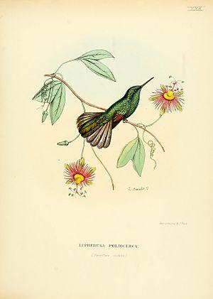 White-tailed hummingbird - Image: Histoirenaturell 00muls 0067