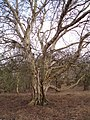 Historic birch tree in Staverton Park - geograph.org.uk - 348879.jpg