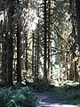 Hoh Rainforest - Olympic National Park - Washington State (9780234494).jpg