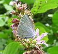 Holly Blue. Celastrina argiolus. Underside. - Flickr - gailhampshire.jpg