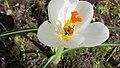 Honey Bee on Crocus Blossom (8663687920).jpg