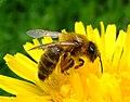 Honey bee on a dandelion, Sandy, Bedfordshire (7002893894).jpg
