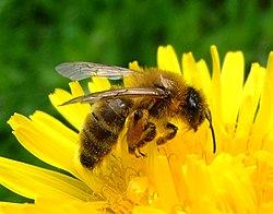 Honey bee on a dandelion, Sandy, Bedfordshire (7002893894).jpg