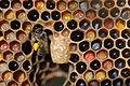 Honeybee polen.JPG