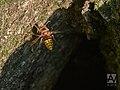 Hoornaar - European hornet (20725124754).jpg