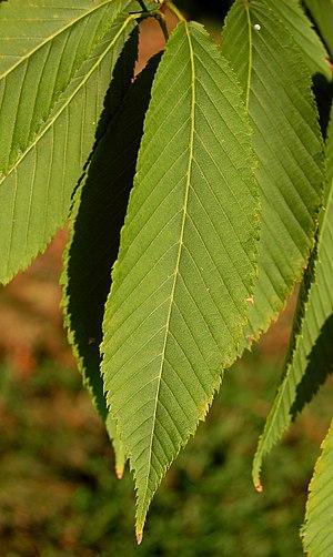 Acer carpinifolium - Image: Hornbeam Maple Acer carpinifolium Leaf 3000px