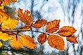 Hornbeam leafs in Autumn (38709841471) (2).jpg