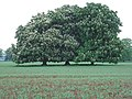 Horse chestnuts in flower - geograph.org.uk - 414433.jpg