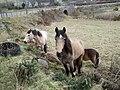 Horses by Bridge of Muchalls - geograph.org.uk - 365442.jpg