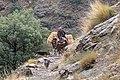 Horses carrying hay up Sendero Acequias del Poqueira in Capileira, Sierra Nevada National Park (DSCF5707).jpg