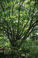 Hortus botanicus Leiden Zelkova serrata.JPG