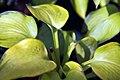 Hosta Bright Lights 1zz.jpg
