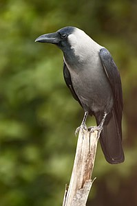 House Crow (Corvus splendens) from Villupuram dt JEG6470.JPG