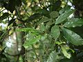 Humboldtia brunonis Wall. (15664904323).jpg