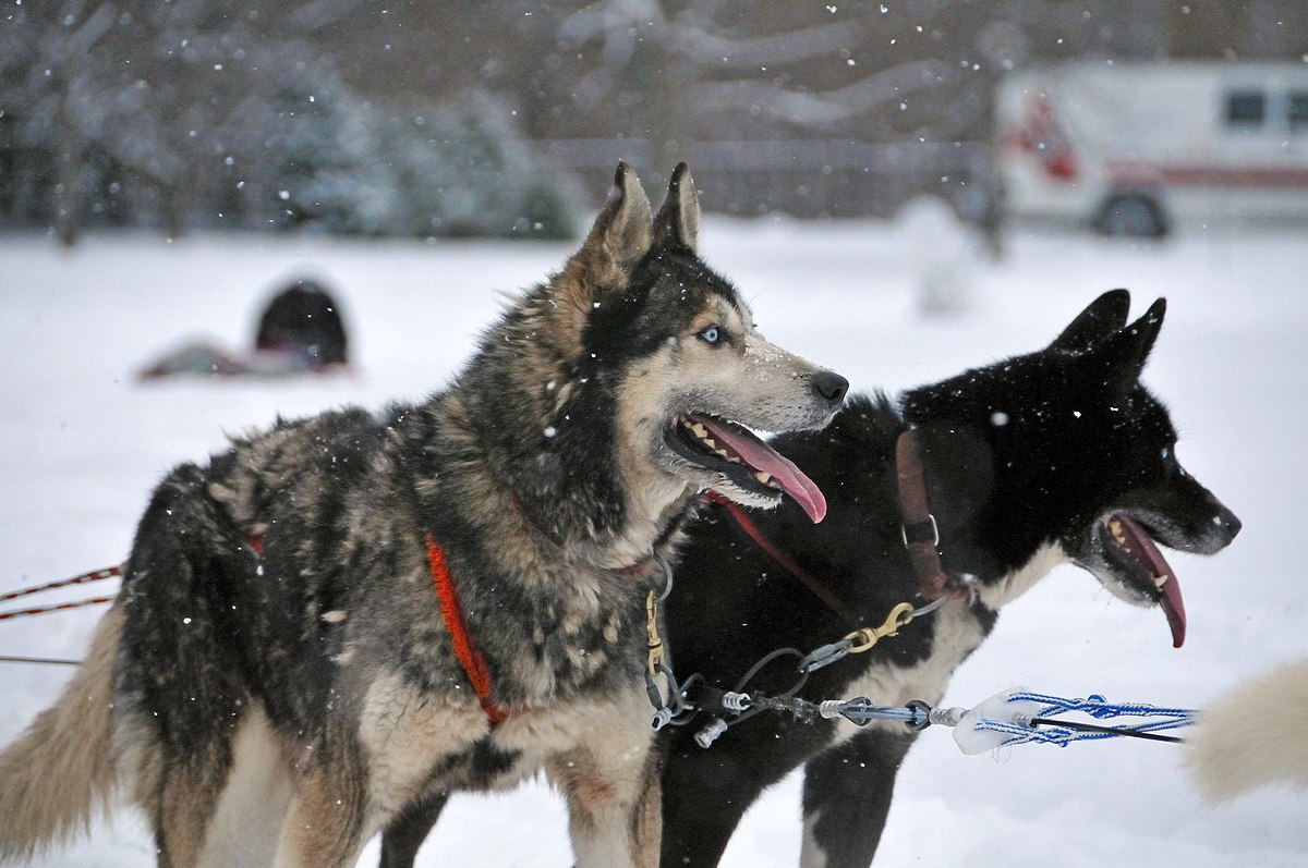 Images Of Husky Dogs: Wikipedia