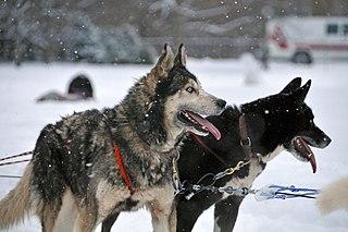 Husky Dog breed, working dog