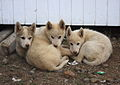 Husky Puppies! (5190992401).jpg