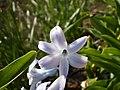 Hyacinth - panoramio (1089).jpg