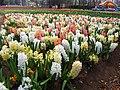 Hyacinths - floriade canberra.jpg