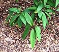 Hydrangea heteromalla in Auckland Botanic Gardens 02.jpg