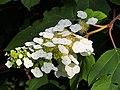Hydrangea quercifolia Hortensja dębolistna 2018-06-10 03.jpg
