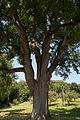 ID 871 Quercus 0006.jpg
