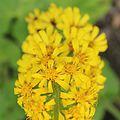 IMG 7428-Ligularia sibirica.jpg