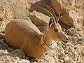 Ibex Resting.jpg