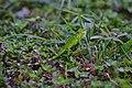 Iguana iguana - Flickr - Alejandro Bayer.jpg