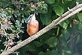 Ijsvogel-1 (15579509780).jpg