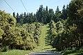 Ilex aquifolia along Westside Linear Trail.jpg
