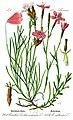 Illustration Dianthus deltoides0-clean.jpg