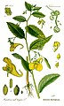 Illustration Impatiens noli-tangere0 clean.jpg