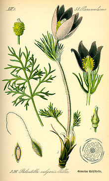 Illustration Pulsatilla vulgaris0.jpg