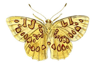 <i>Anteros</i> (butterfly) genus of insects