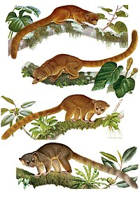 Illustrations of the species of Bassaricyon.jpg