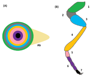 Imaginal disc - Destination of the imaginal disc in the leg of an insect.