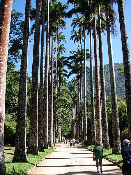 Ficheiro:Imperial palm trees.JPG