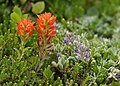 Indian Paint Brush and Lupine, New River ACEC (15516804349).jpg