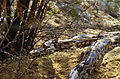 Indian Python (Python molurus) (20646464982).jpg