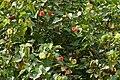 Indian Tulip tree (Thespesia populnea) flowers W IMG 6872.jpg