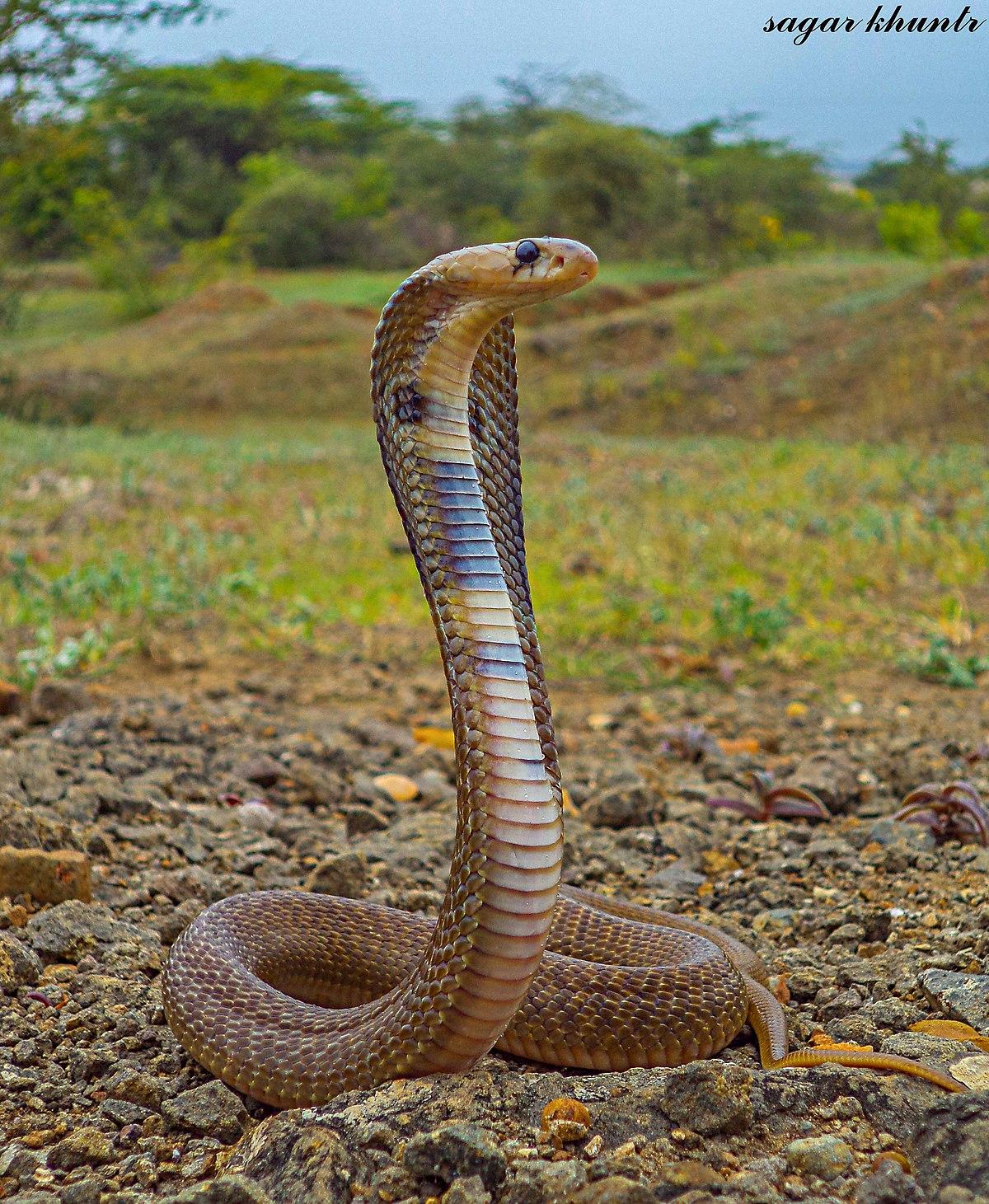 Cobra Naja   Fantasy monster, Humanoid creatures, Fantasy