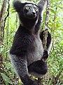 Indri Ankanin'ny Nofy.jpg