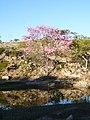 Ipê-Roxo - panoramio.jpg