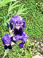 Iris germanica.jpg