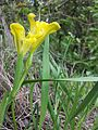 Iris humilis subsp. arenaria sl25.jpg