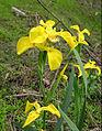 Iris pseudacorus flowers Russia.jpg