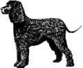 Irish Water Spaniel - Dog (PSF).png