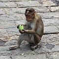 Isola di elephanta, scimmie 01.jpg