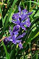 J20170420-0159—Iris douglasiana—RPBG (34152417132).jpg